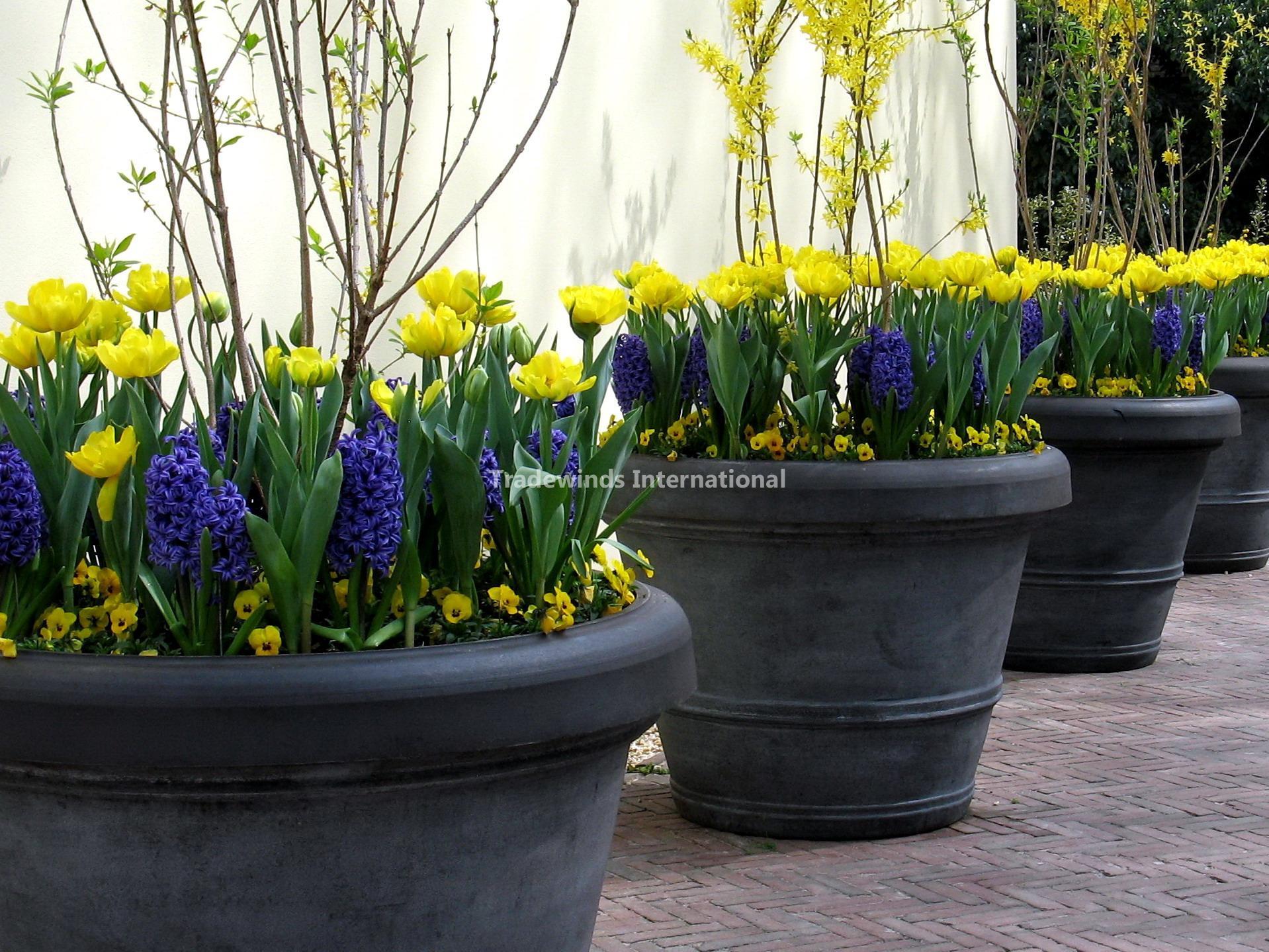 Potted Flower Bulbs Tradewinds International