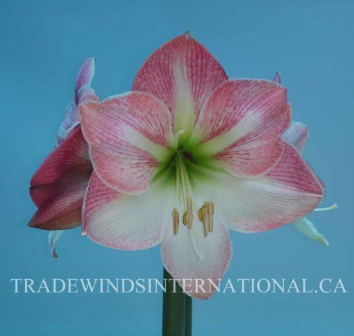 amaryllis, flower bulb