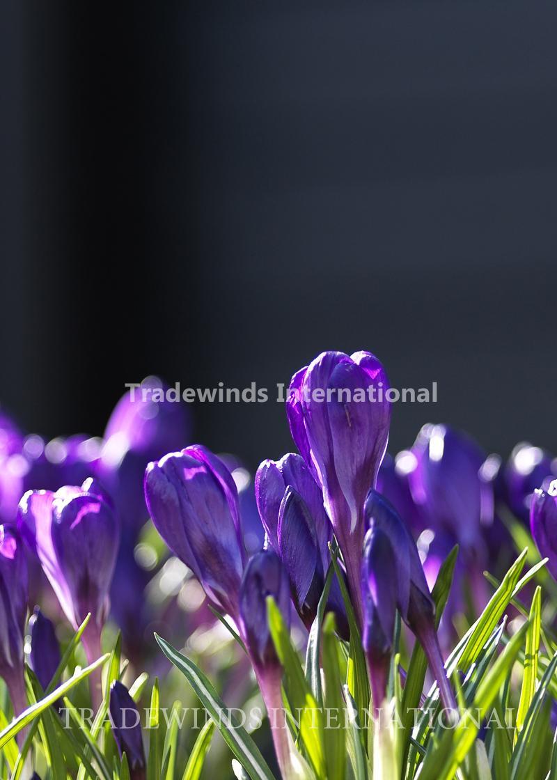 Crocus Flower Record Tradewinds International
