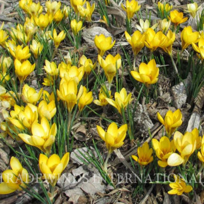 Crocus_goldilocks