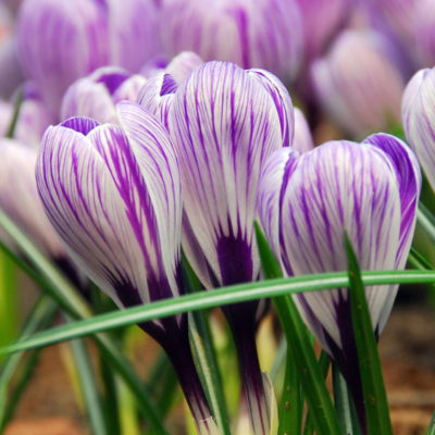 Crocus_pickwick_wm