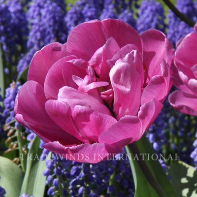 Dubbele Late Tulp Blue Diamond