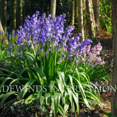 Hyacinthoides.Blue TW WM