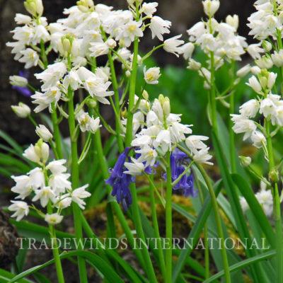 Hyacinthoides.White TW WM