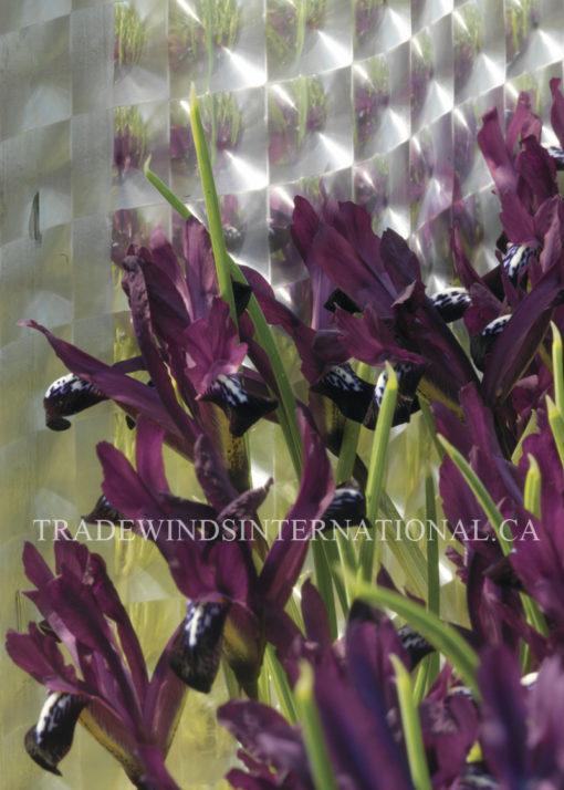 iris, flower bulbs