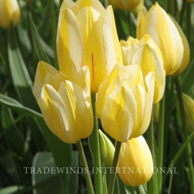 Meerbloemige Tulp Antoinette