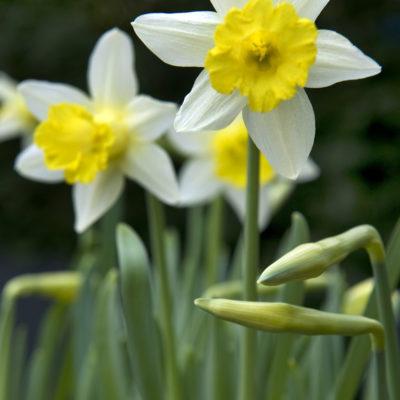 Narcissus 2014