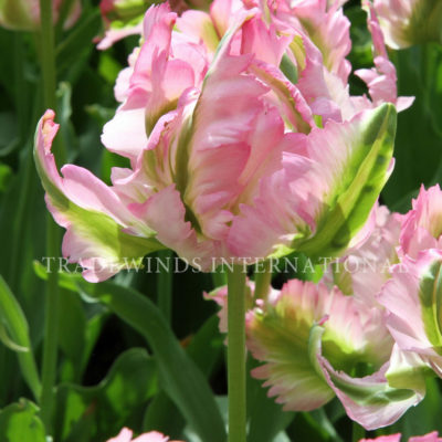 Parkiet Tulp Green Wave