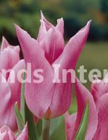 Tulipa China Pink