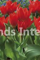 Tulipa praestans Fusilier