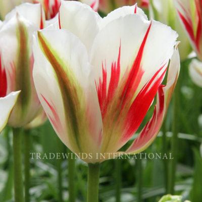 Viridiflora Tulp Flaming Springgreen
