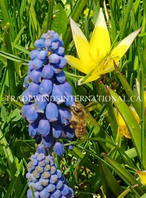 muscari, flower bulbs
