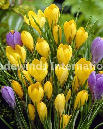crocus, flower bulbs