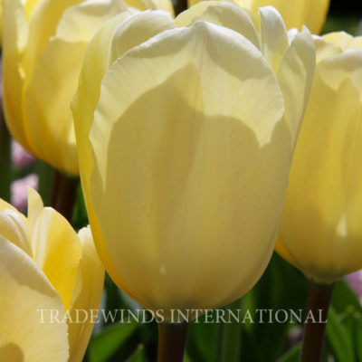 Greigii Tulp Vanilla Cream