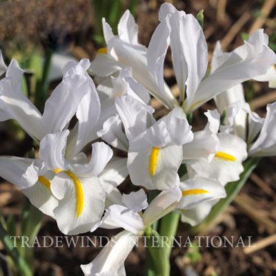 Iris reticulata White Caucasus