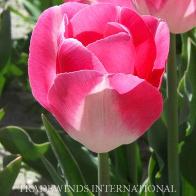 flower bulb, tulip