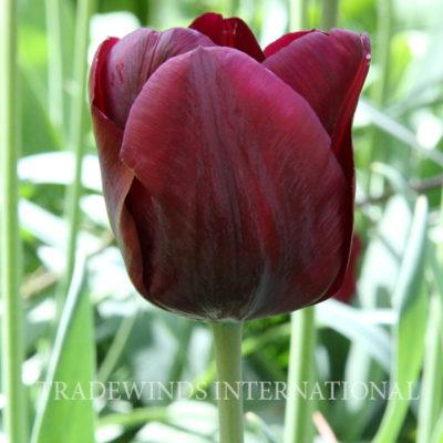Tulip Mascara
