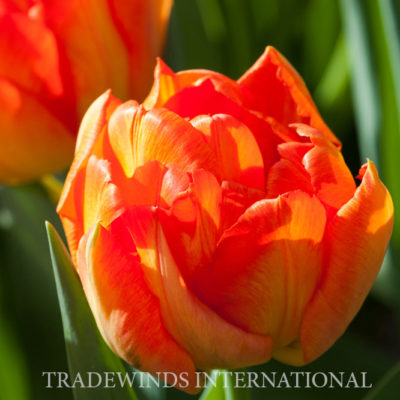Tulip.Monte.Orange_wm
