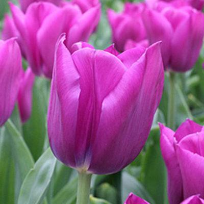 Tulip.Stability