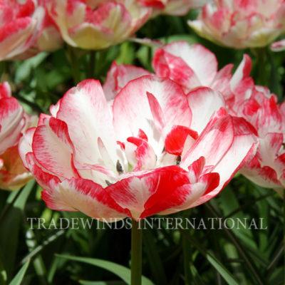 Tulipa_cartouche_wm