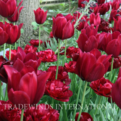 Bordeaux tulip TW WM