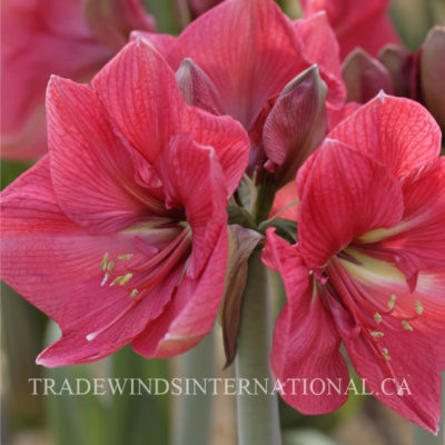 flower bulbs, amaryllis