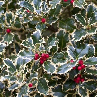 berried variegated holly