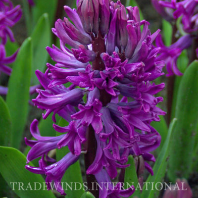 Hyacinth .Purple.Sensation TW WM