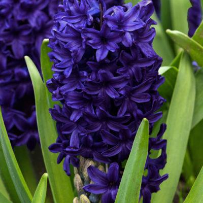 Hyacinth.Pacific.Ocean