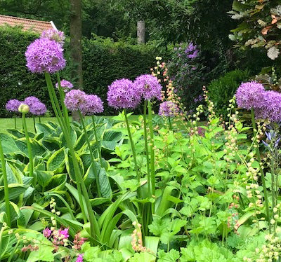 allium, purple, flower