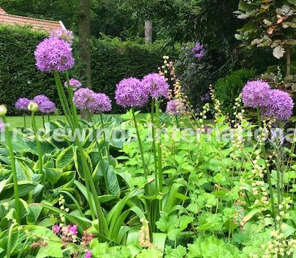 allium, purple, flower
