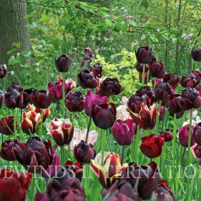 Mystery tulip TW WM