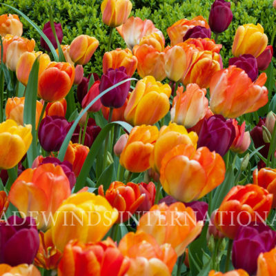Oriental.Sunset tulip TW WM