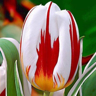 canadian_tulip