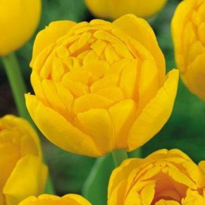 yellow-pomponette_1