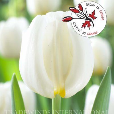 Tulipa Antarctica