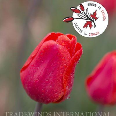 Tulipa Lalibela