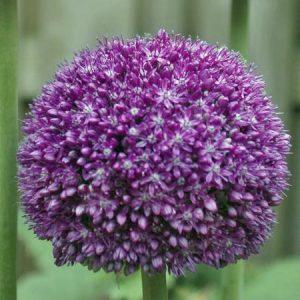 allium, flower bulb