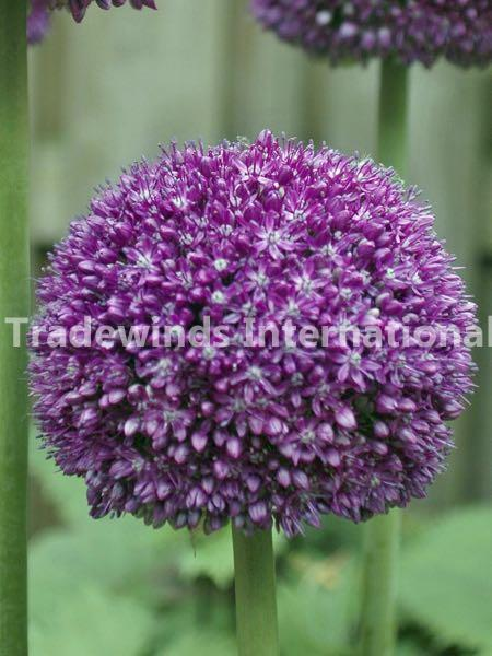 allium, flower bulb