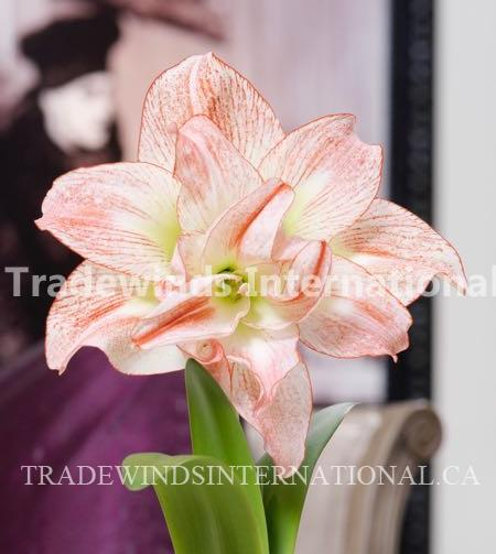 Amaryllis Aphrodite, flower bulbs